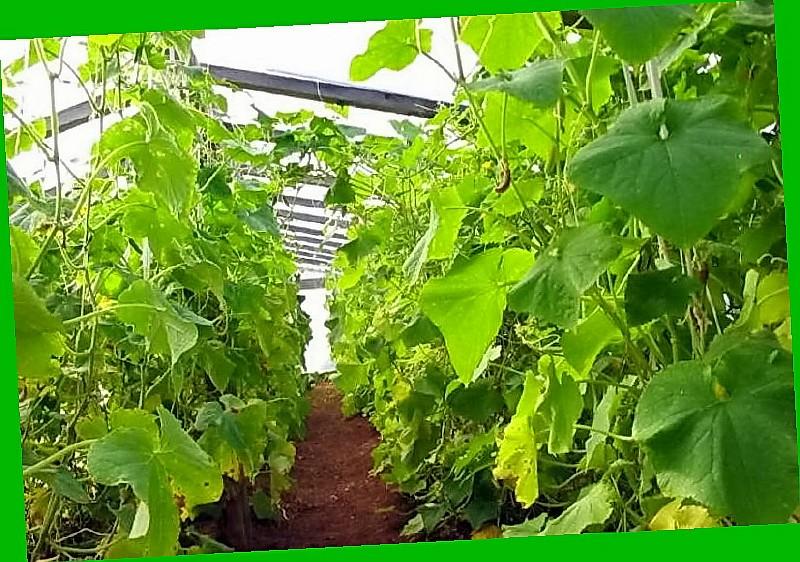 Огурцы для выращивания в сибири 490