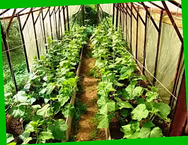 Выращивание огурцов в грунте в подмосковье 11