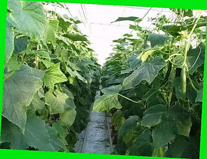 Огурцы для выращивания в сибири 442